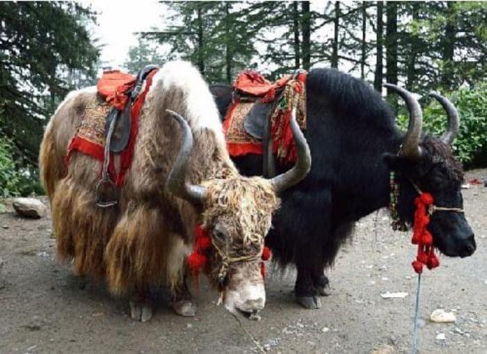 Chharabra yak ride