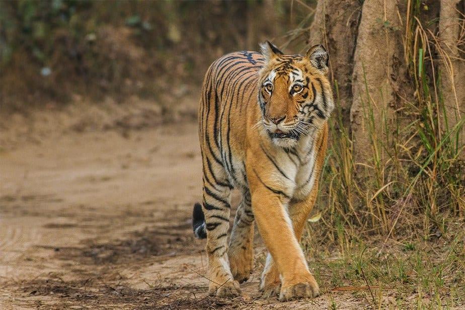Tiger, Jim Corbett National Park